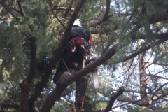 Potatura in tree climbing a Gallarate